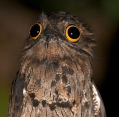 Potoo bird tumblr