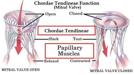 Similiar Chordae Tendineae Keywords