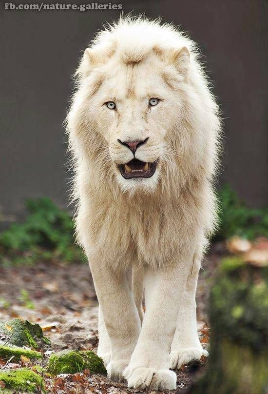 Big White Lion Tigers And Animals Lions