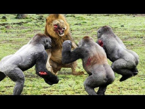 Leopard vs gorilla