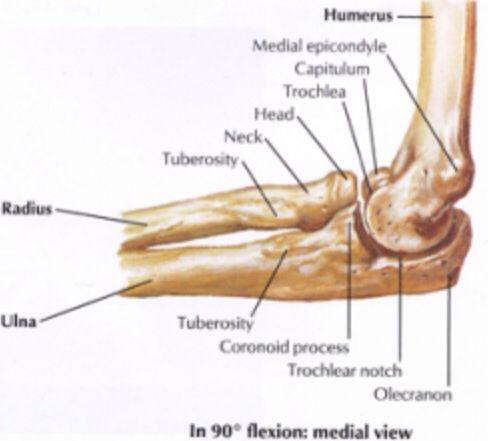 Medial Elbow Anatomy 7269776 1cashingfo