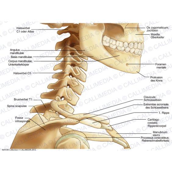 Neck bone anatomy