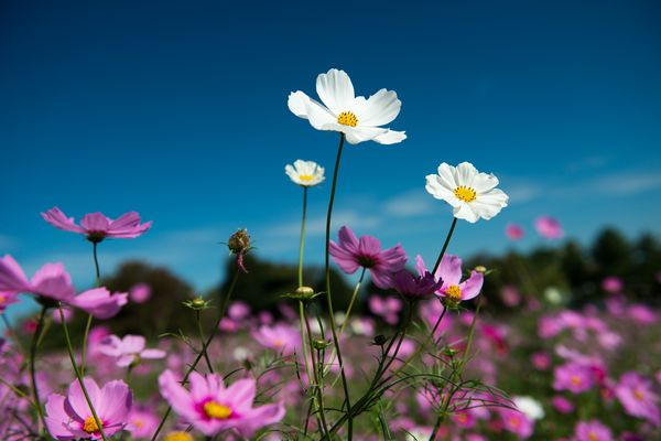 Cosmos blooming in the wind