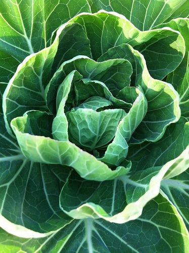 Healthy garden greens... easy and inexpensive to grow... chock full of nutrients!