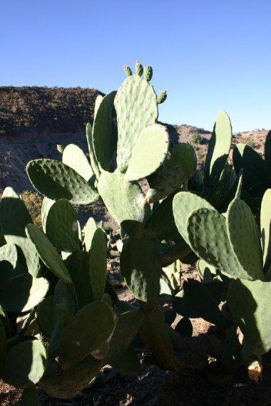 ウチワサボテン(トゥナ) :南米植物写真集 プランタス