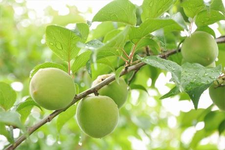 旬の梅はいつが食べ頃?失敗しない選び方と食べ方