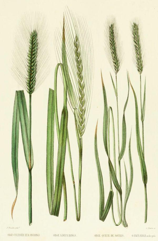 Barley French Antiqu
