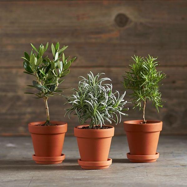 rosemary-lavender-olive-tiny-toiary-trees-gardenista