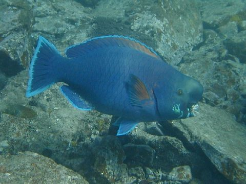 Scarus ovifrons - Knobsnout Parrotfish 鬼頭衣