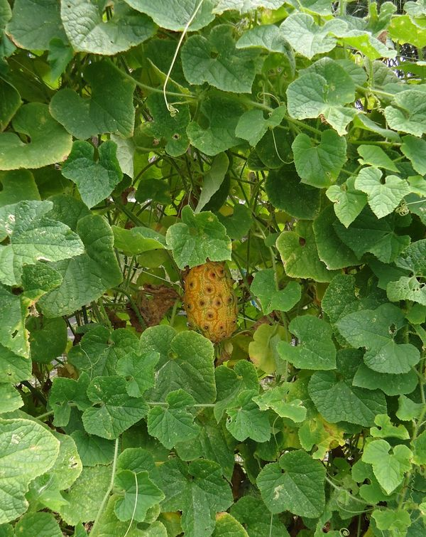 Horned Melon
