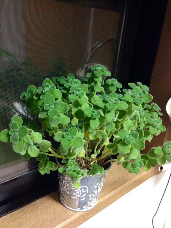 【アロマティカス】  ミントの香り。多肉とハーブの中間のような感じ。肥料は香りがとぶので、あまりあげず、日当たりの良いところで育てる。増えたら、間引くと良い。葉っぱをソーダ水や紅茶に入れると美味しく頂ける。2014年9月29日(月)現在