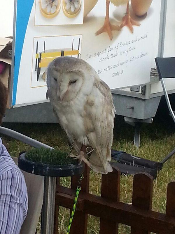 Barn owl Dorset Coun