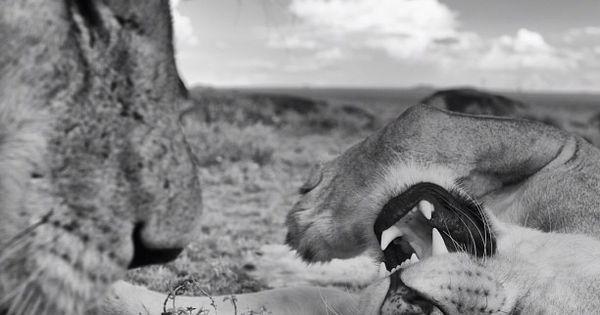 essays about lion images