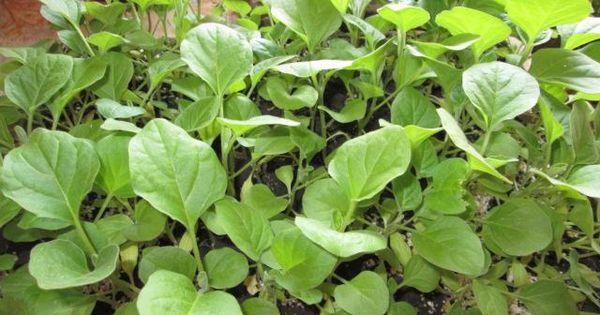 Правильно выращивать клубнику домашних условиях