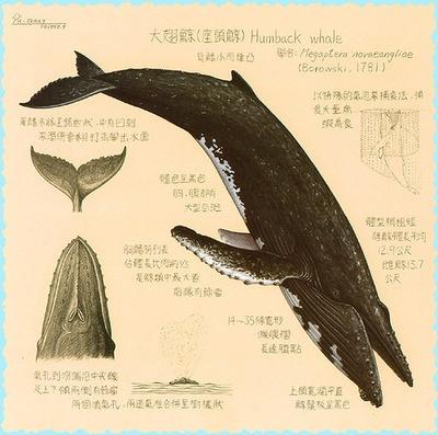 Diagram Of A Humpback Whale 28 Images Salish Sea Cetaceans 101