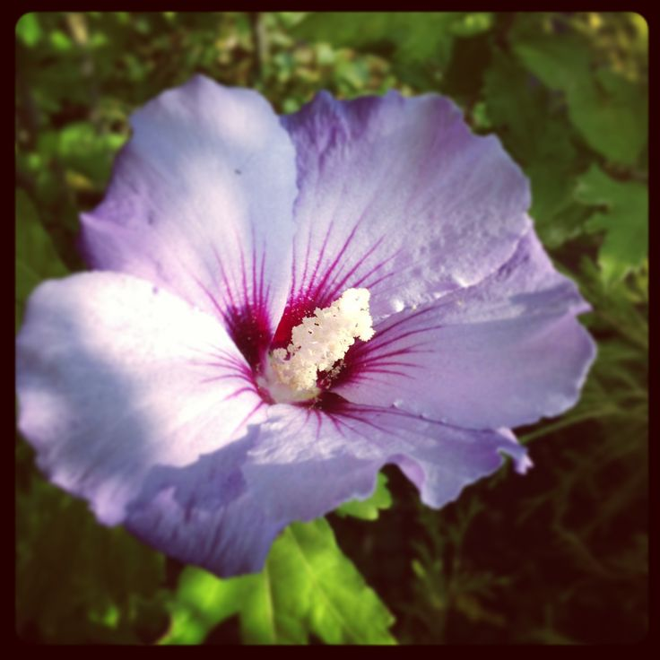 symbolism in purple hibiscus Free essay: symbolism in purple hibiscus the novel purple hibiscus, by chimamanda ngozi adichie, is a story of a young girl , who tries to find her own voice.