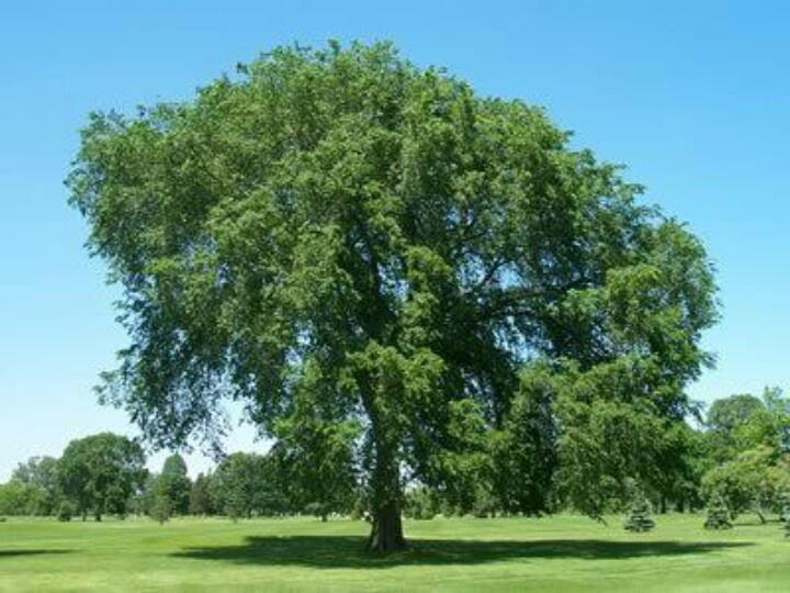 Elm tree trees pinterest for American elm