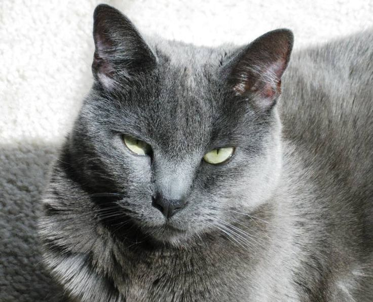 cat breed with short legs