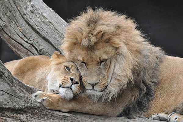 Lion/Lioness so content, cuddling! | Animals & Birds ...