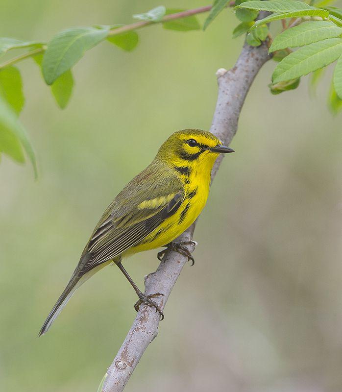 prairie-warbler-female