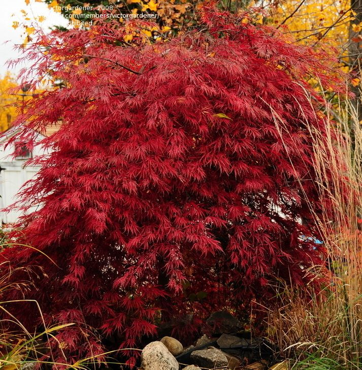 Cutleaf japanese maple tree playing in the dirt pinterest for Japanese maple tree