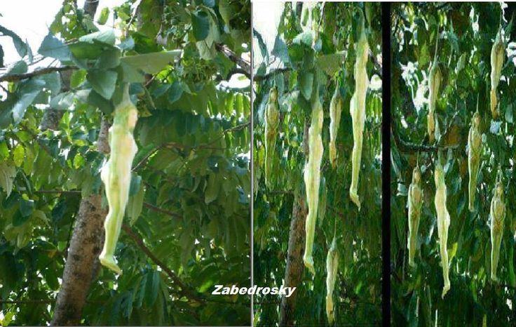 """La """"planta de phool naarilatha""""... encontrado en Himalayas. Florece una vez en 20 años y si observas.. .las flores son en la forma de una mujer,.. .la naturaleza es realmente increíble!"""