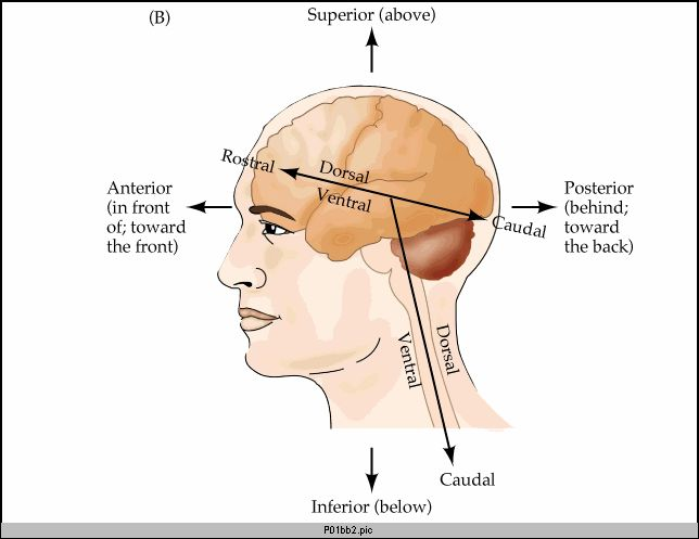 Define Dorsal In Anatomy K Kp 2018