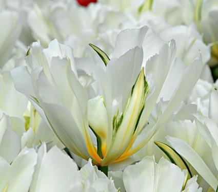Tulip Exotic Emporer