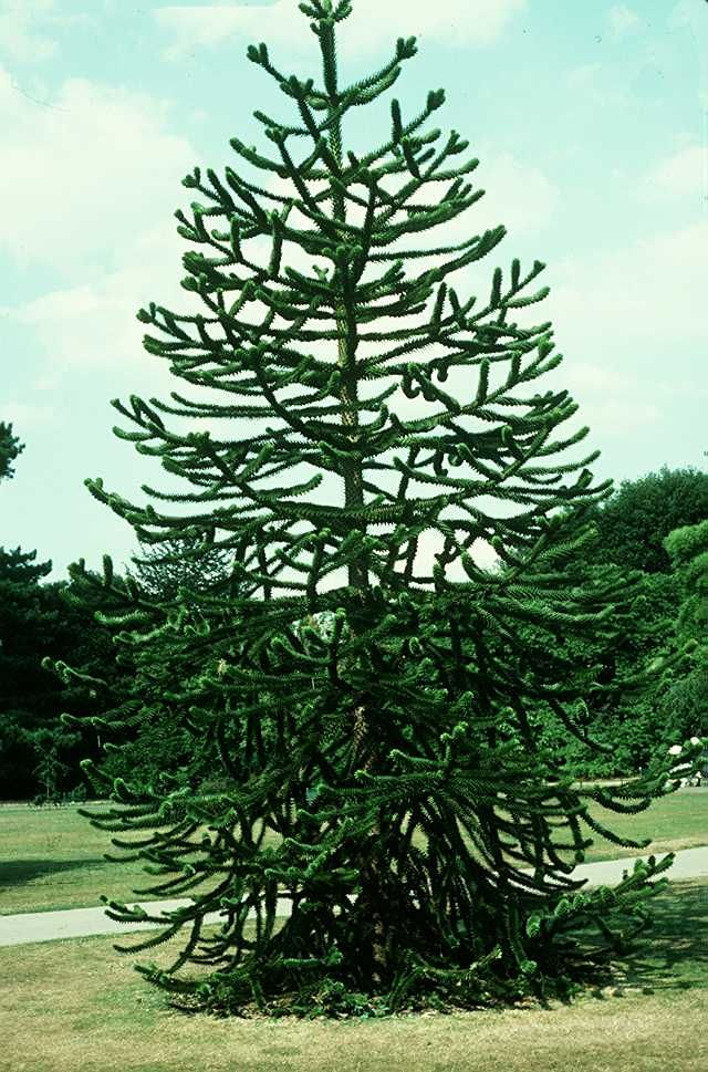 Monkey Puzzle Tree Nature And Gardens Pinterest