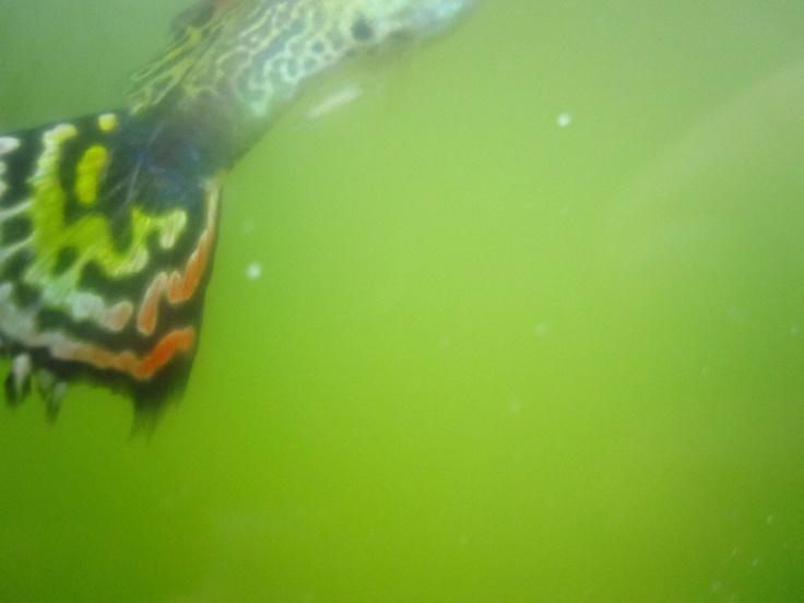 Outdoor aquarium pond with guppies for Outdoor aquarium pond