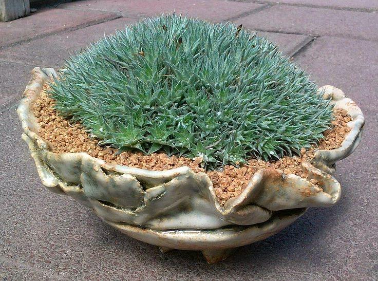 Piedritas para plantas suculentas  Rare Plants  Pinterest