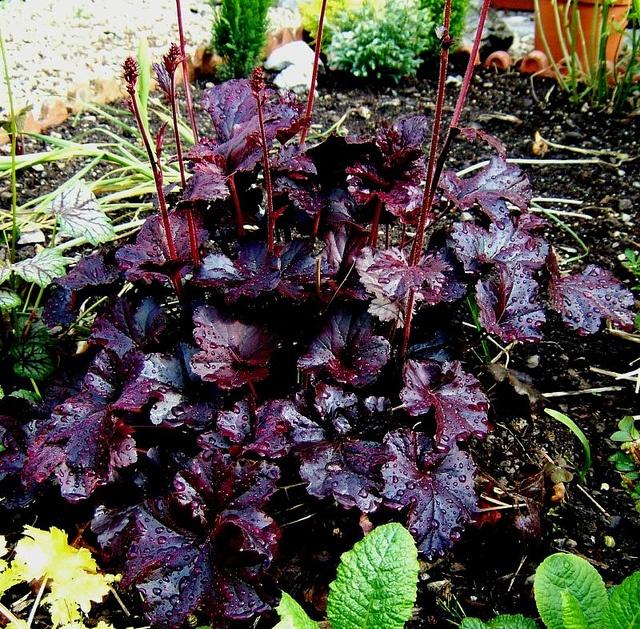 Front yard garden plants - Heuchera Obsidian Plants Perennials Heuchera Amp Tiarella Pin