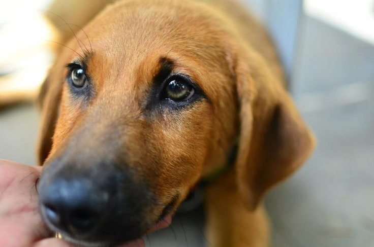dog hindi English to hindi & english online dictionary search all hindi words & phrases   online canis major contains the dog star (sirius) - an iron for holding wood in a fireplace a firedog an andiron.