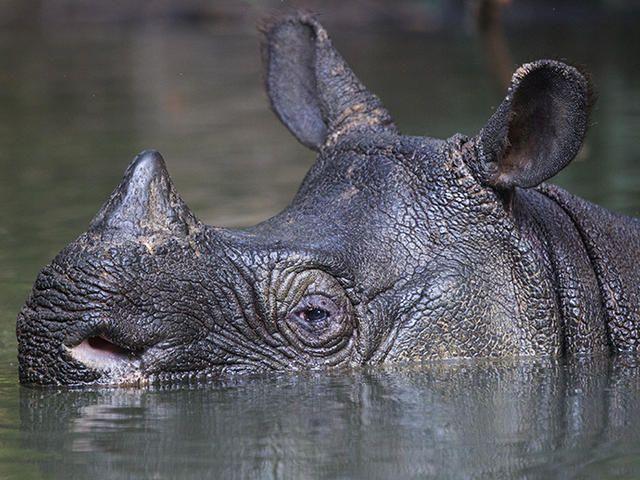 Baby javan rhinoceros