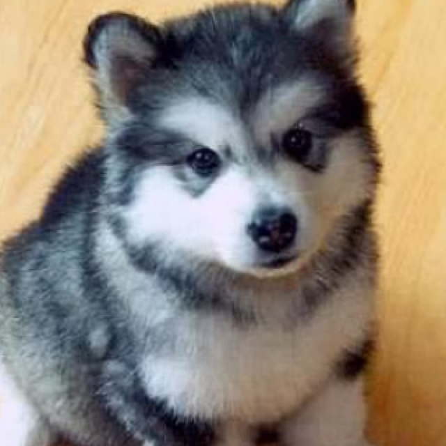 pin baby huskies pictures - photo #14