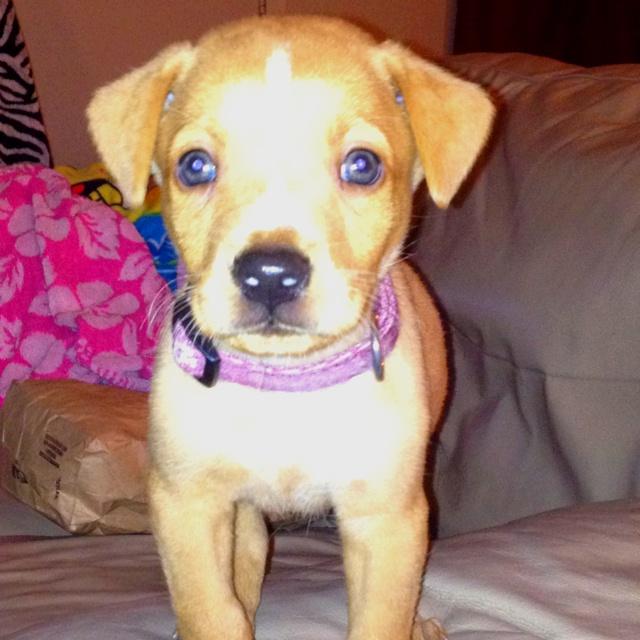 beagle/lab/pit mix! | Rots-Dobermans-all those beautiful dogs | Pinte ...