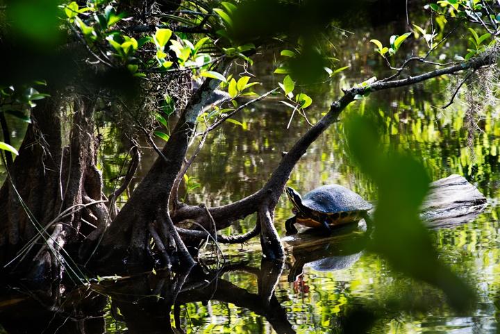 Everglades turtle