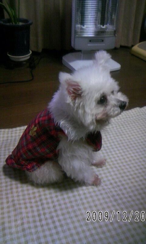 ... by Hitomi Setoguchi on Toy poodle and Pomeranian Hybrid dog | Pin