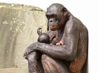 Real Human Animal Hybrid   Humanzee   Animals critters ...