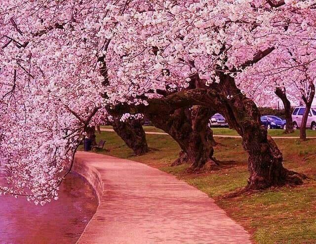 japenese cherry trees washington dc scenic views pinterest