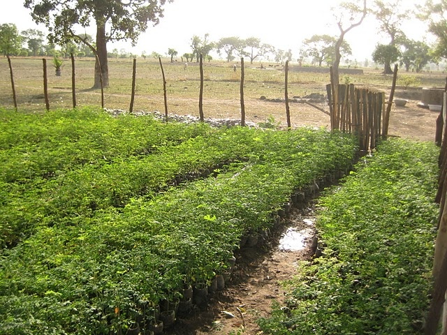 moringa board Moringa oleifera is the most widely cultivated species in the genus moringa, the only genus in the plant family moringaceae common names include moringa .