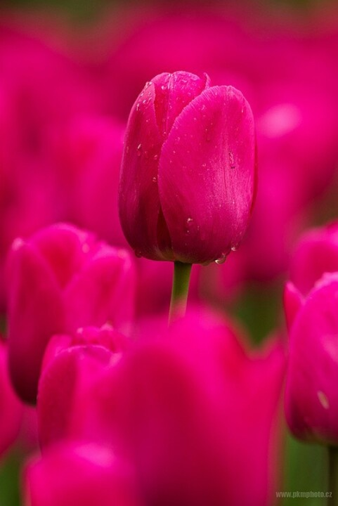 These hot pink tulips would make a beautiful bouquet Hot Pink Tulip Bouquets