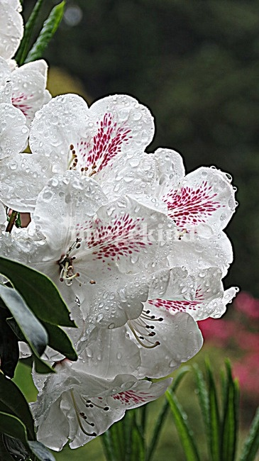 White Blooms, by LORI MOORE