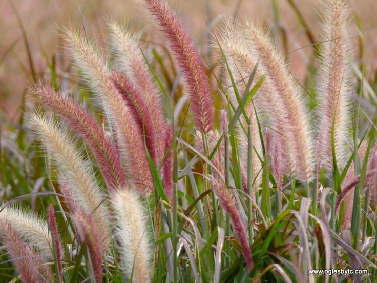 Pennisetum setaceum Rubrum  Rons Hill Garden  Pinterest
