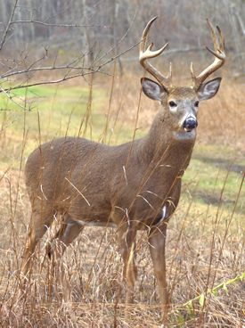 Whitetail deer facts get great hunting equipment for attracting