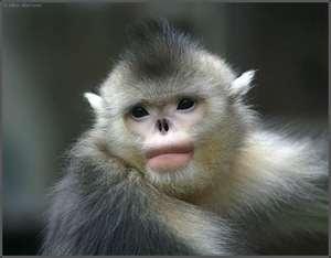 himalayan snub nosed monkey