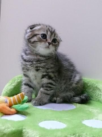 Scottish Fold Kitten | Cattery Dutchfold | The Netherlands | http://www.kittentekoop.nl/images/com_adsmanager/ads/14035b.jpg