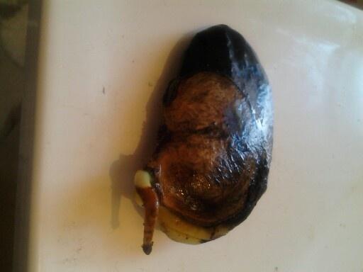 Mango seed germination | Garten Pflanzmöglichkeiten ...