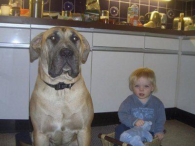 English Mastweiler Mastiff / Rottweiler