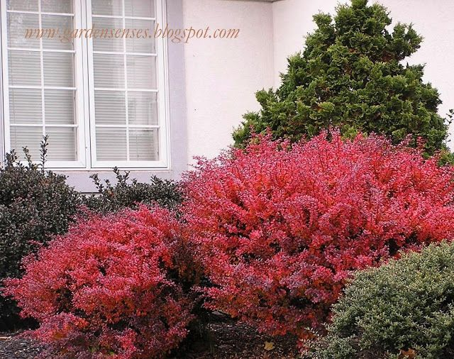 Fall color article front yard plantings pinterest for Plants found in japanese gardens